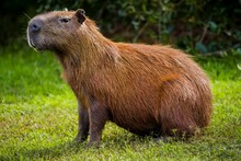 Capybara Sitting On Grass, Bra...
