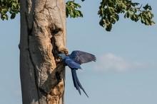 Hyacinth Macaw (Anodorhynchus Hyacinthinus) Approaching The Breeding Cave, Pantanal, Mato Grosso Do Sul, Brazil, South America