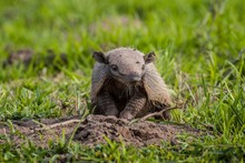 Big Hairy Armadillo (Chaetophr...
