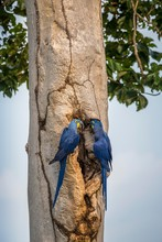 Hyacinth Macaws (Anodorhynchus Hyacinthinus) At Her Breeding Cave At The Tree Trunk, Pantanal, Mato Grosso Do Sul, Brazil, South America