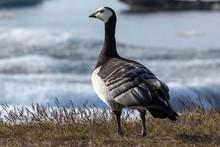Barnacle Goose (Branta Leucops...