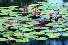 Lotus Flowers, Phuket, Thailand
