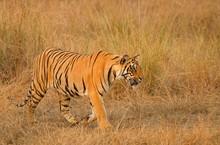 Bengal Tiger (Panthera Tigris Tigris), Sneaking Attentively Through The Grass, Tadoba Tiger Reserve, Maharashtra, India, Asia