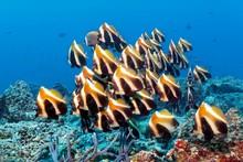 Fish Swarm Phantom Bannerfish (Heniochus Pleurotaenia) Indian Ocean, Maldives, Asia