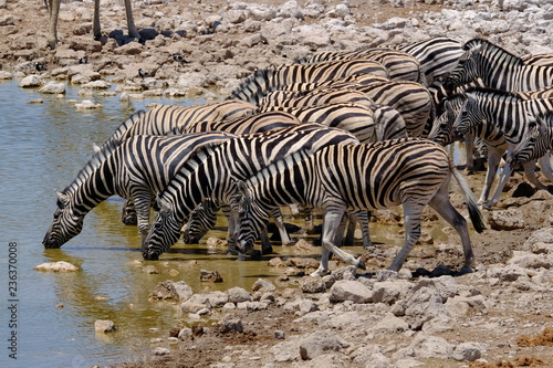 Tuinposter Zebra Zebra at a waterhole, Etosha National Park, Namibia