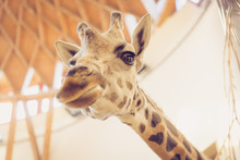 A Giraffe Head Behind The Cages At A Zoo, Low Angle Shot