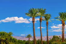Palm Trees In Line With Panoramic View Of The San Bernardino Mountains