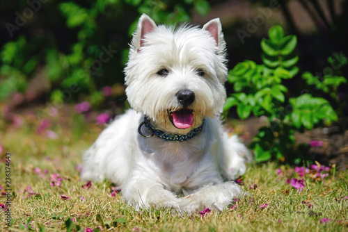 Happy West Highland White Terrier dog with a collar lying down on a green grass Canvas Print