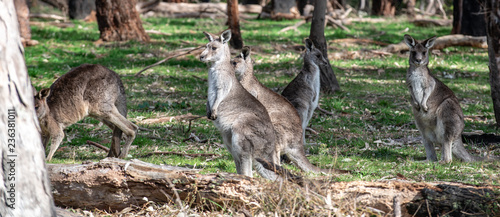 Foto op Plexiglas Kangoeroe Kangaroo in wild