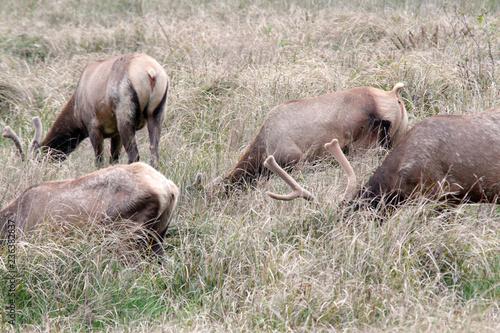 Photo Roosevelt elk (Cervus canadensis roosevelti), Elk Prairie, Prairie Creek Redwood