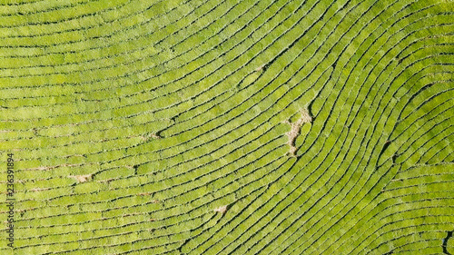 Photo sur Toile Les champs de riz Flight over tea plantation. Krasnodar, Sochi, Russia