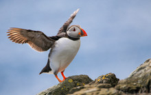 Puffin Just Taking Off On The Farne Islands In England