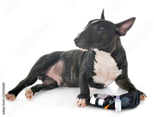 Obraz na plátne miniature bull terrier