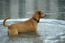Red Dog Bathes In The Lake