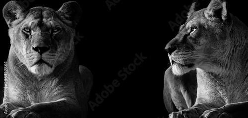 Fotografie, Obraz  Black and White two lioness