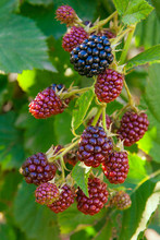 Close Up View Of A Bunch Of Blackberry. Ripening Of The Blackberries On The Blackberry Bush In Forest..