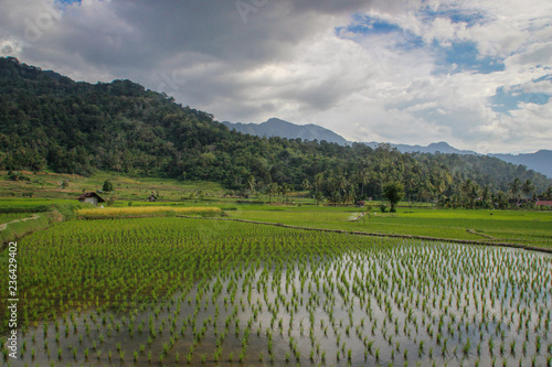 Foto op Aluminium Rijstvelden Paddy rice fields in Indonesia on the island of Sumatra. Asia Agriculture