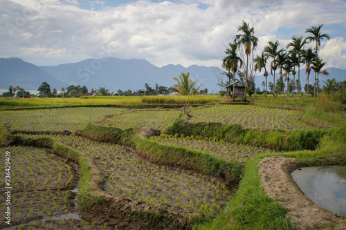 Poster Rijstvelden Paddy rice fields in Indonesia on the island of Sumatra. Asia Agriculture