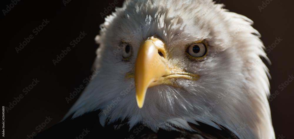 Portrait white-tailed eagle bald eagle, national american prey bird on the black wallpaper
