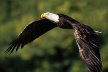Bald Eagle Flying Near Forest - Haliaeetus Leucocephalus