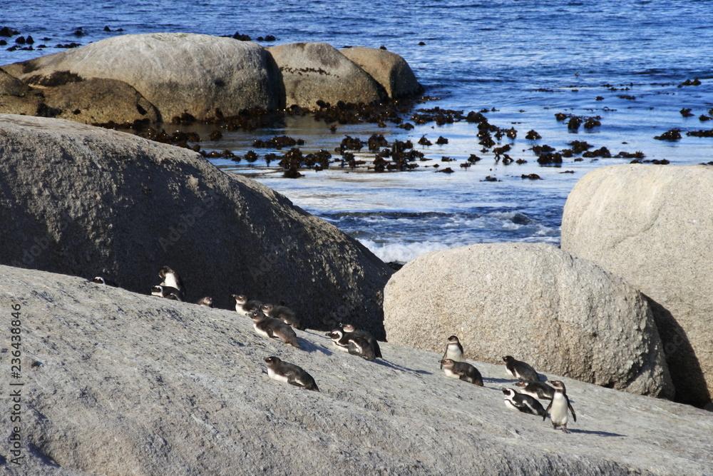 Brillenpinguine, Sonne und Felsen am Strand in Boulders Beach in Südafrika
