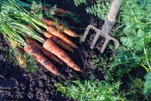 Carrots Dug With Garden Fork Lies On A Garden Bed In A Vegetable Garden.