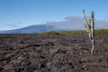 Single Cactus In A Lava Field With Volcano In The Background On Isabela Island, Galapagos Islands, Ecuador, South America