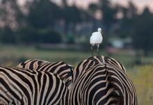 Common Zebra With Egret On Back