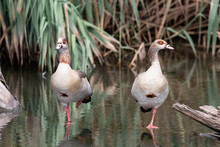 Two Egyptian Geese In Water