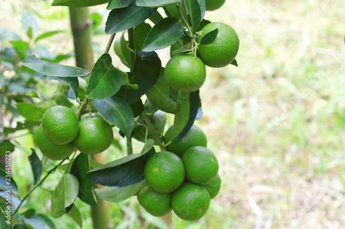 Organic lime citrus fruit hanging on tree