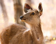deer in ranthambore reserve in india