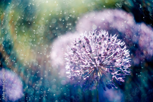 Poster Pissenlit alium flower with dandelion flower structure wit water drops. ma