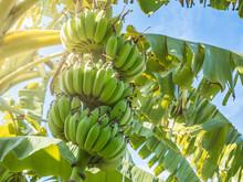 Bunch Of Green Banana In Nature