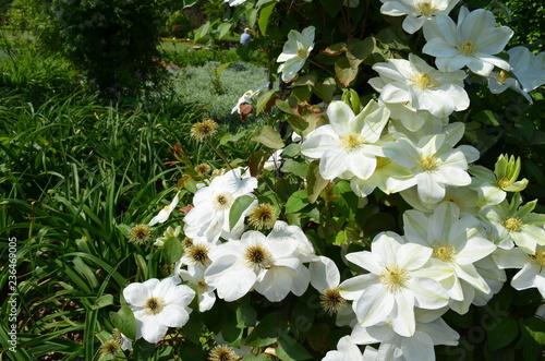 Kwitnące białe powojniki, Clematis