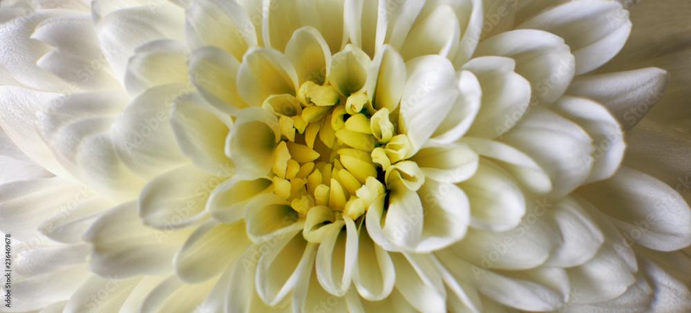 Fototapeta White Chrysanthemum