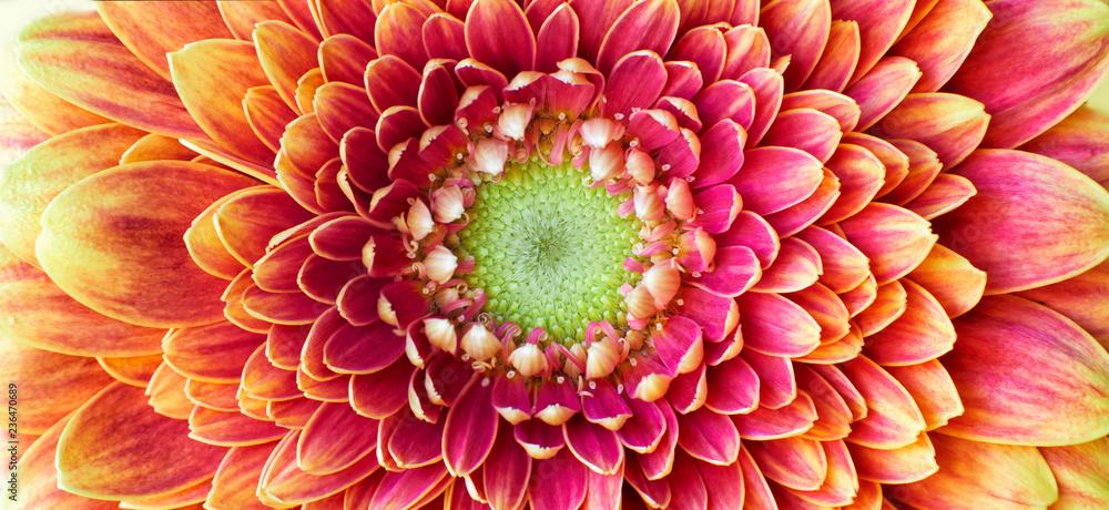 Fototapety, obrazy: Golden Chrysanthemum