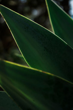 Dark Green Leaves Of An Agave With Sun Lit Edges
