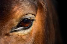 Brown Horse Macro Eye