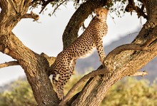 Side View Of Cheetah Looking A...