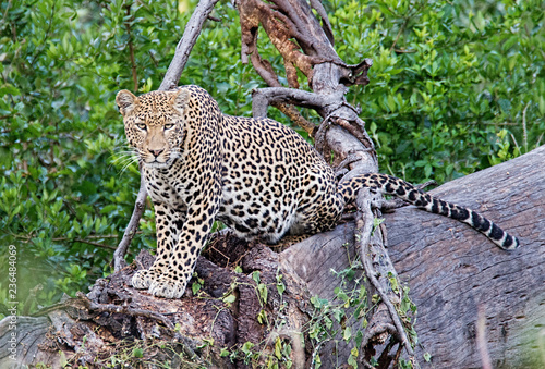 Portrait of leopard sitting on tree in forest