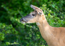 A Female White-tailed Deer (Odocoileus Virginianus) Whose Ears Are Infested With Ticks At Assateague Island National Seashore, Maryland
