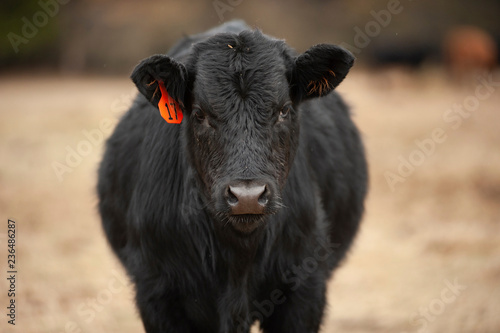 Portrait of cow standing on field at farm