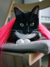 Close-up Portrait Of Black Cat With Wig Sitting On Chair