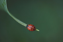 Macro Shot Of Ladybug On Leaf