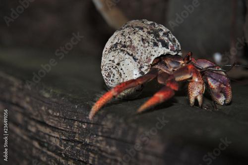 Guadeloupe, un bernard-l'hermite sur une poutre