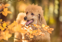 Apricot Standard Poodle Portrait In Autumn In The Park