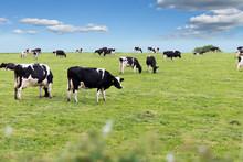 Perfect Farm Cows On A Green M...