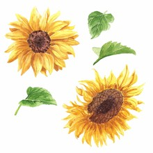 Hand Drawn Watercolor Sunflowe...