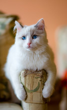 White Hairy Cat Sitting On Sofa's Armrest At Home