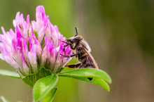 Close-up Of Honey Bee Pollinating On Purple Flower